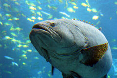 Here fish, fishy. Large fish with blue water stock photo