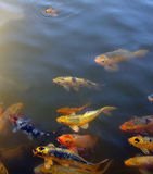 Here, fishy, fishy, fishy Royalty Free Stock Images