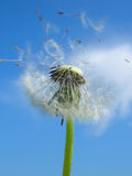Here We Go. Dandelions to be taking of in the summer morning Stock Photos