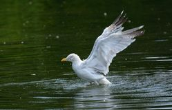 Here We Go! Herring gull larus argentatus trying to take off from lake. Royalty Free Stock Image
