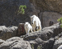 Here we go!. Mother Mountain goat and kid coming down the mountain Stock Image