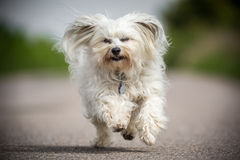 Here we go. Small white Havanese runs quickly toward the photographer and can look directly into the camera Stock Photos