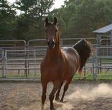 Here I come. Arabian Stallion trotting toward camera Stock Image