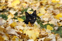 Here kitty. A completely black cat hidden in a pile of leaves with just his head sticking out royalty free stock image