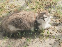 Here kitty kitty| fluffy green-eyed cat stock images