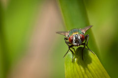 Here's Looking at You. A fly staring head on at the viewer Royalty Free Stock Images