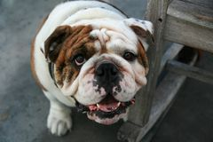 Here's Looking at You, Kid. English Bulldog guards a rocking chair Stock Images