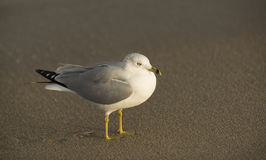 A fat seagull on the sand in Southern Florida. A seagull looks to the ocean for the next adventure. Singer Island, Florida royalty free stock photos