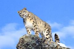Here`s looking at you. Snow leopard on ridge looking straight down Royalty Free Stock Photos