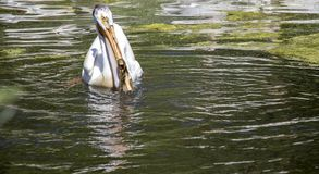 Pelican on the Lake in the Sun royalty free stock image