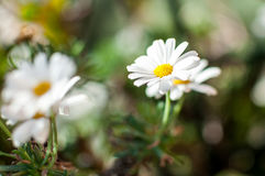 Here is the Spring - Daisies. They bloom the first daisies, white and delicate, a clear sign of spring Royalty Free Stock Images