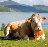 hereford быка Стоковая Фотография RF