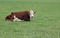 hereford быка Стоковая Фотография