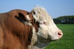 hereford быка Стоковые Фотографии RF