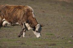 hereford коровы Стоковое Фото