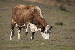 hereford коровы Стоковая Фотография RF