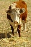 hereford поля коровы Стоковая Фотография