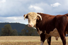 Hereford bull. Royalty Free Stock Photo