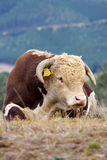 Hereford bull. Royalty Free Stock Photography