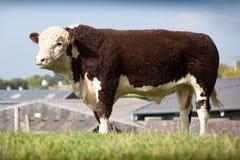 Hereford Bull fotografía de archivo