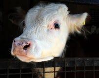 Hereford bull calf Royalty Free Stock Image