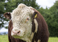 Hereford Bull Royalty Free Stock Photography