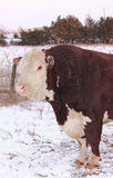 Hereford Bull. A closeup of a 5 year old polled hereford bull stock photography