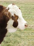 Hereford bull cow close up on farm Royalty Free Stock Photos