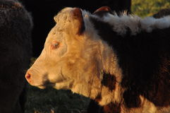 Hereford bull head in silhouette profile. The afternoon sun highlights the face of a young Hereford bull. This is a widely used breed in temperate areas, mainly Stock Photo