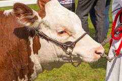 Hereford byk przy okręgu administracyjnego przedstawieniem zdjęcia royalty free