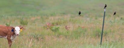 Hereford calf and blackbirds Stock Photos