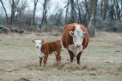 Hereford Calf and Hereford Cow. A Hereford Calf stand next to mother Cow Stock Photo