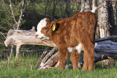 Hereford calf Stock Photos