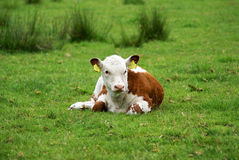 Hereford calf in a meadow. Royalty Free Stock Images
