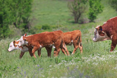 Hereford Calves and Bull. Hereford bull following calves in a green pasture and among pretty wildflowers Royalty Free Stock Photos