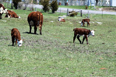 Hereford Calves Royalty Free Stock Photography