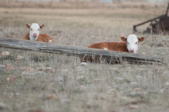Hereford Calves. Laying in a pasture Royalty Free Stock Image
