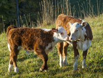 Hereford Calves Touching Noses Together. A pair of Hereford calves touching noses raked with early morning light Royalty Free Stock Photo