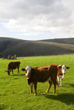 Hereford cattle Royalty Free Stock Photo