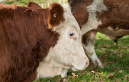Hereford cattle. Stock Images