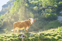Hereford cattle beef breed cow grazing on Alpine mountains slope. Hereford cattle beef breed red and white cow with cowbell grazing on the slopes of the Alpine Stock Photography