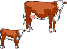 Hereford cattle Stock Image