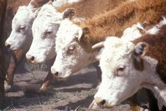 Hereford cattle feeding, MO Royalty Free Stock Images