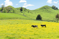Hereford cattle in a field of yellow buttercup Stock Image