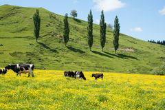 Hereford cattle grazing a field of yellow buttercup Royalty Free Stock Photos