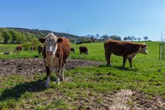 Hereford cattle grazing in the south Limburg Hills during Spring royalty free stock images