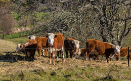 Hereford Cattle Stock Photography