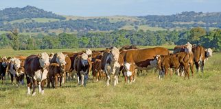 Hereford cattle panorama Australia royalty free stock photo