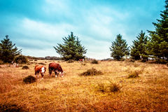 Hereford cattle. On the prarie Royalty Free Stock Images