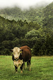 Hereford cattle with a wild scenic background. Misty.wild forest background, hereford, cattle, nature, farming, agriculture, meadow, pasture, rural, mammal Royalty Free Stock Images